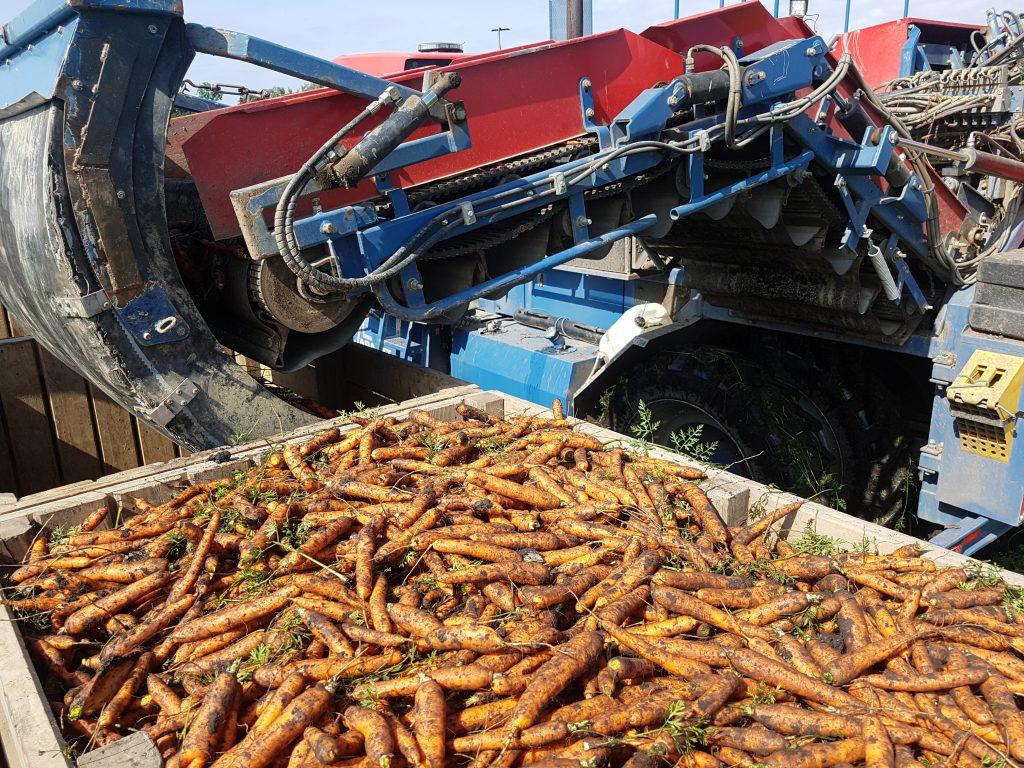 Karottenernte mit Traktor
