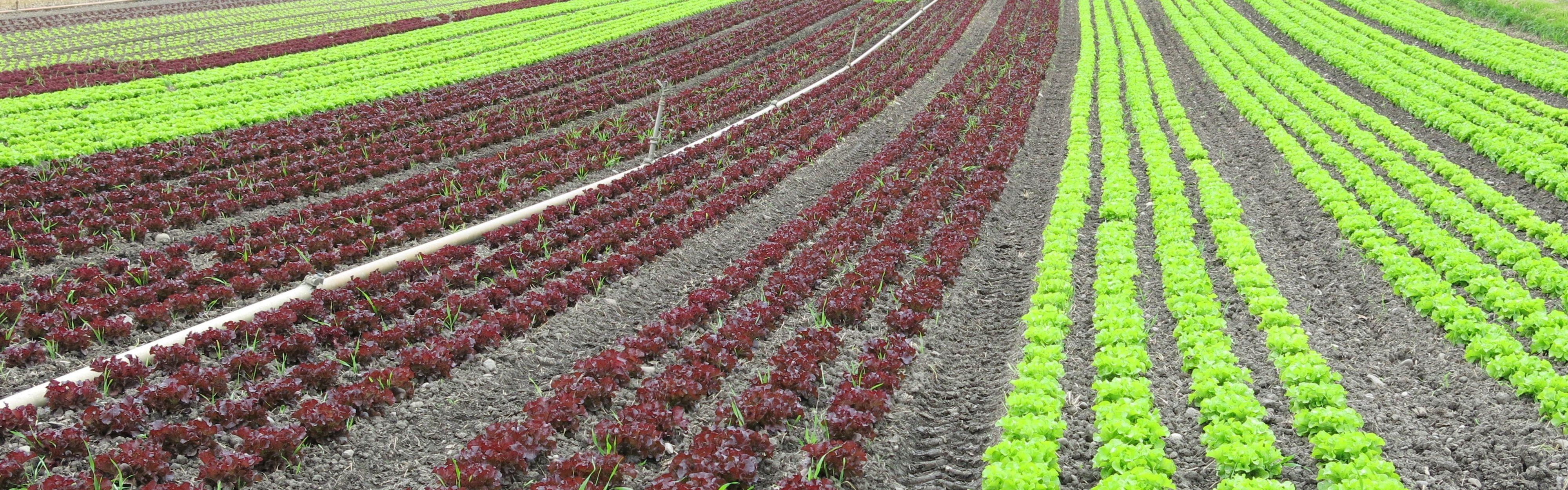 salatfeld farbig seeland