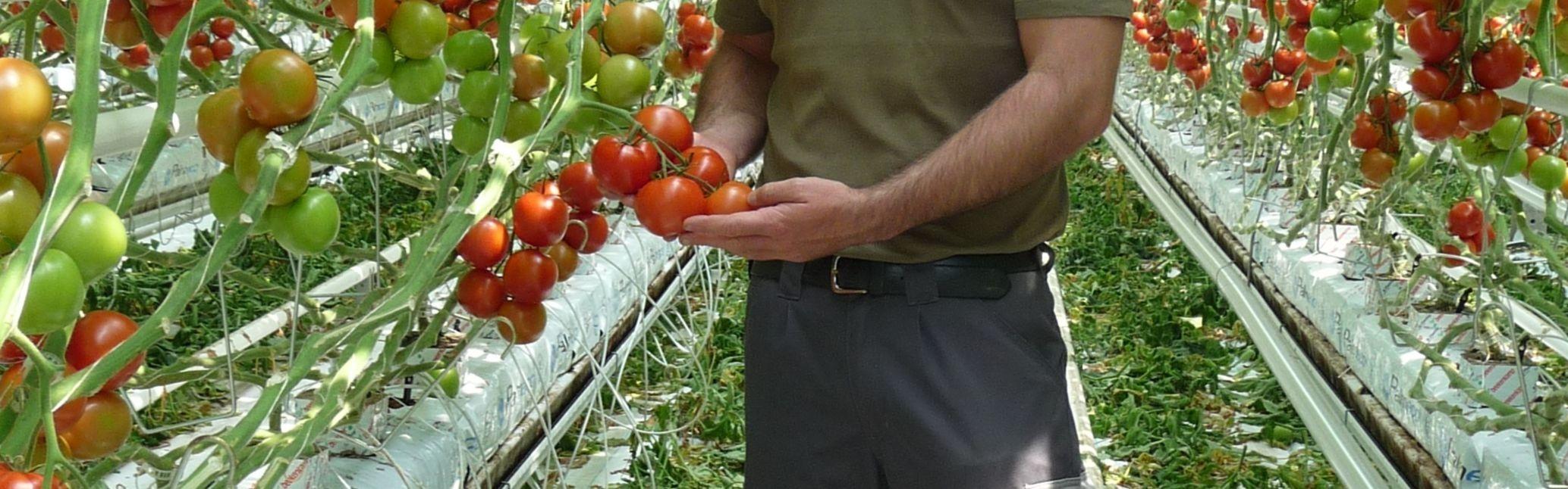 Tomaten gewächshaus hors-sol gemüsebauer