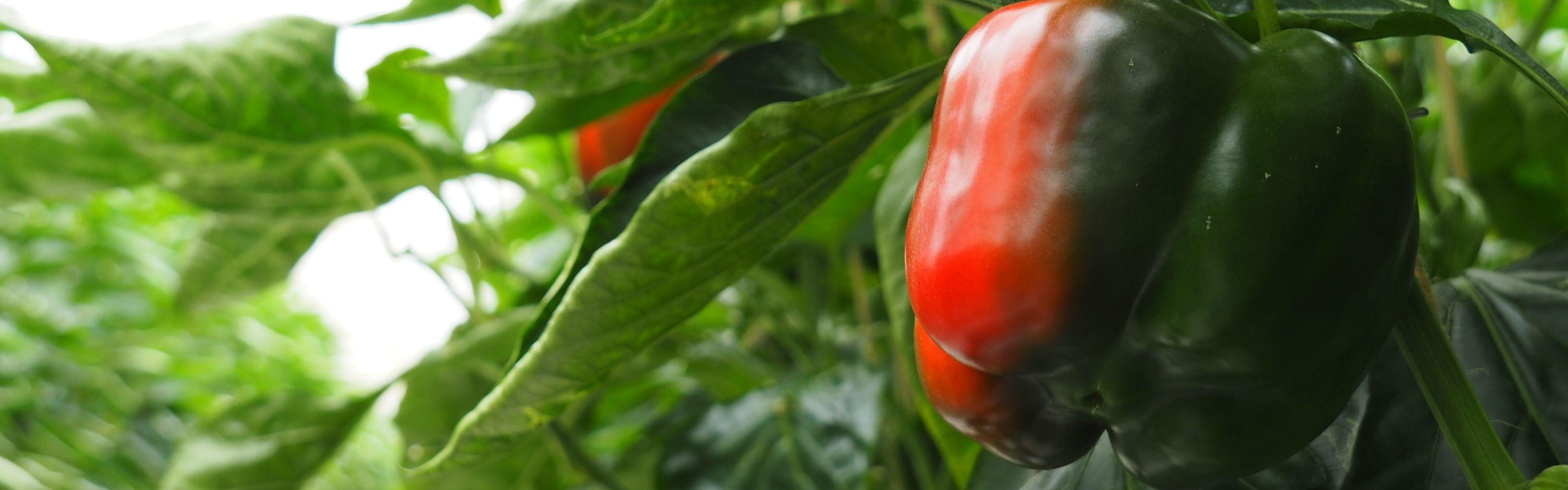 peperoni paprika grün rot gewächshaus