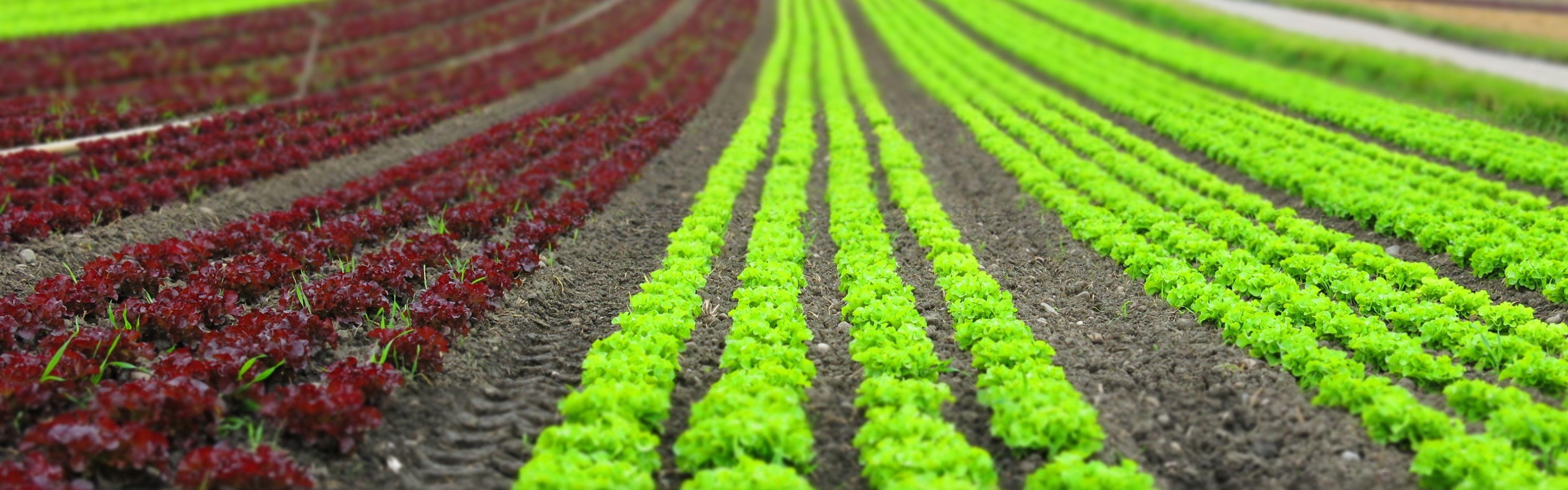 salatfeld streifen grün rot feld gemüsebau landwirtschaft
