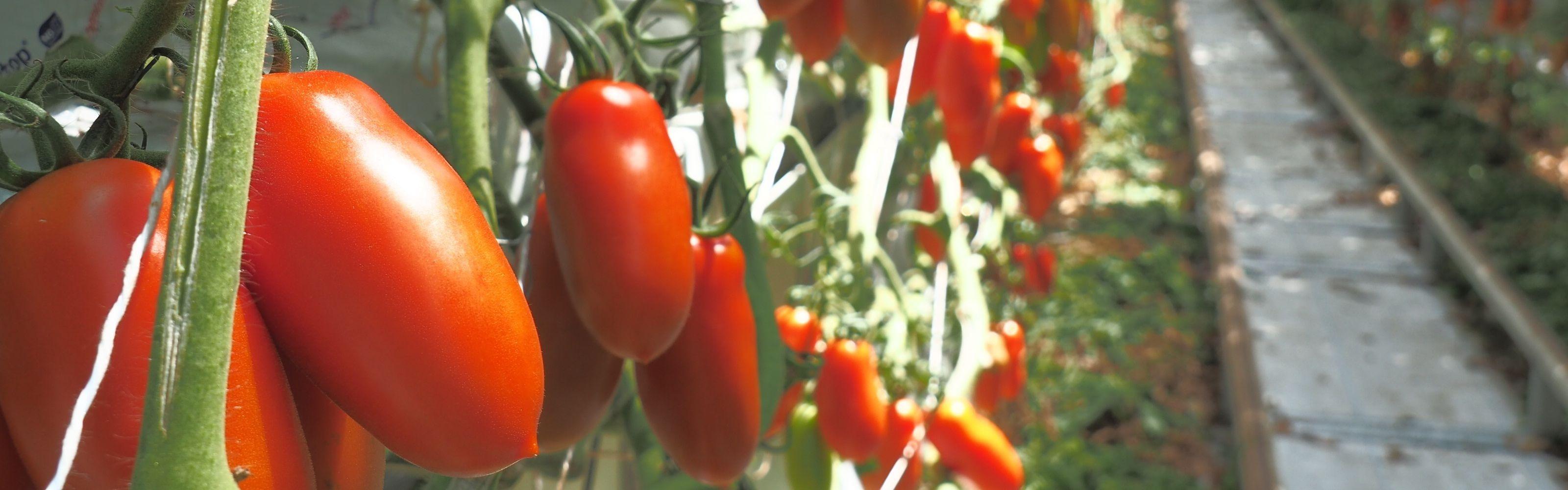 san marzano tomaten gewächshaus horssol treibhaus gemüse